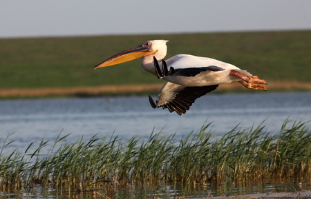 great: great white pelican Stock Photo