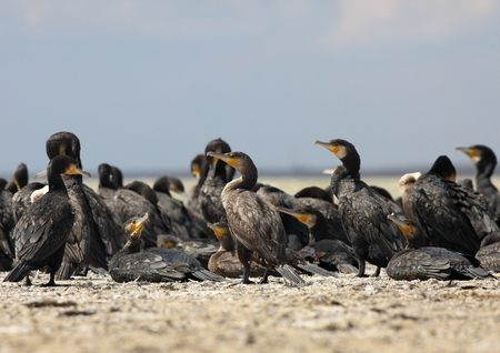 A flock of cormorants on the lake
