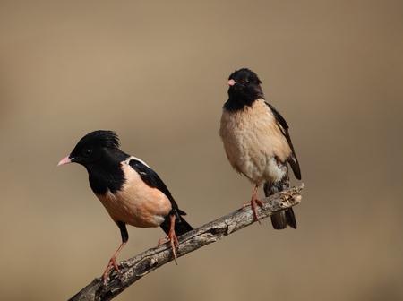 Pink starlings
