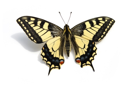 papilionidae: butterfly Swallowtail (Papilio machaon)  Stock Photo
