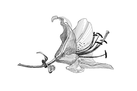 pencil writing: vintage floral illustration lily