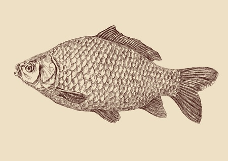 carp fish  drawing