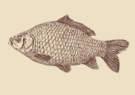 carpa: la carpa de pescado de dibujo