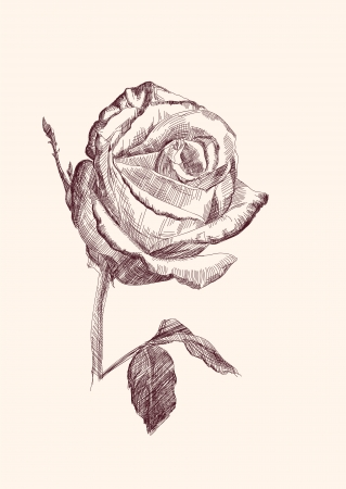 hand drawn rose: hand drawn roses