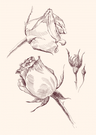 roses hand drawn illustration realistic sketch Vector