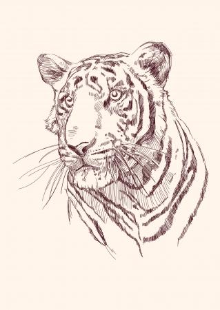 isolated tiger: Tiger disegnata a mano