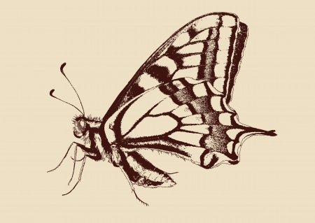butterfly Swallowtail  Papilio machaon  Vector