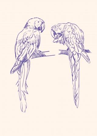 amerika papağanı: Parrot vektör llustration