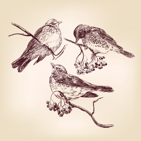 bird hand drawn Stock Vector - 16380795