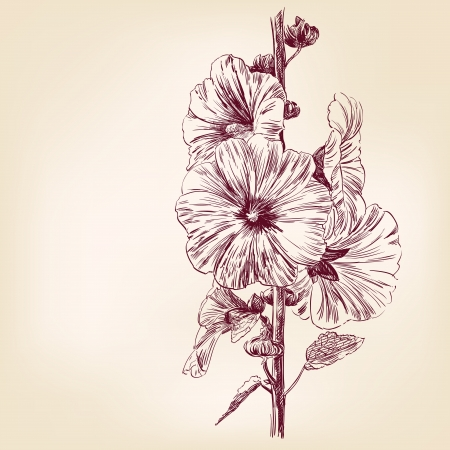 flower sketch: Verbascum Flowers Illustration
