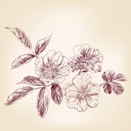 rosa: Dogrose hand drawn vector llustration