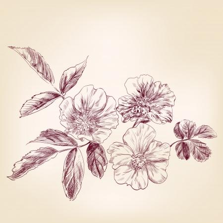 dessin fleurs: main Dogrose dessinée vecteur llustration