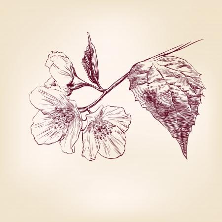jasmine: Jasmine hand drawn illustration Illustration