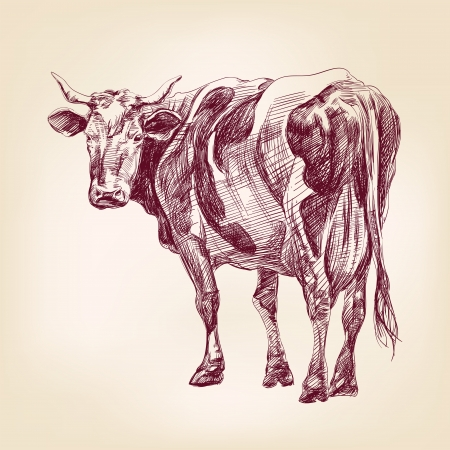 drawing an animal: disegnata a mano vettore llustration mucca realistico schizzo
