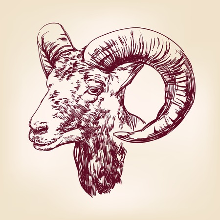 mutton: goat hand drawn vector llustration realistic sketch