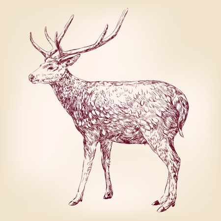 cervidae: Deer hand drawn vector llustration realistic sketch Illustration