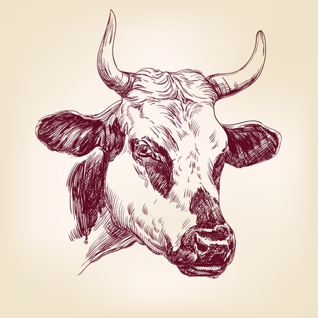 bull head: cow hand drawn llustration realistic sketch