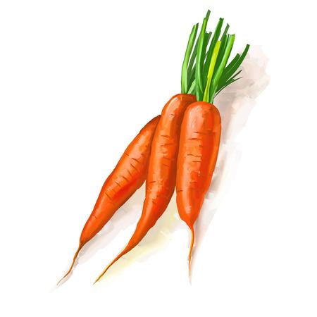 zanahorias: zanahorias ilustraci�n vectorial dibujado a mano acuarela pintada