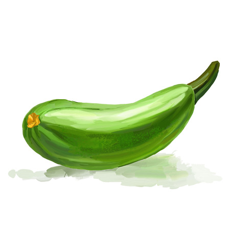 courgette: zucchini vector illustration  hand drawn  painted watercolor