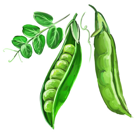pods: peas vector illustration  hand drawn  painted watercolor