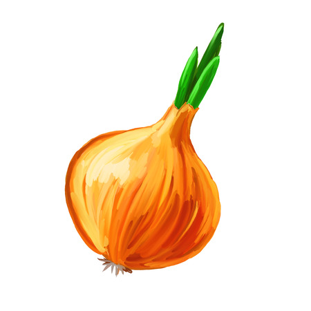 Onion vector illustration  hand drawn  painted watercolor