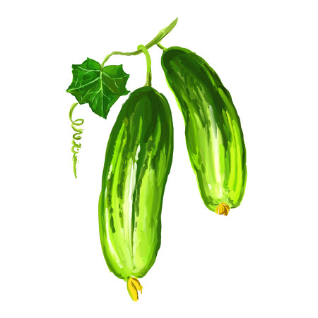cucumber vegetable vector illustration  hand drawn  painted watercolor