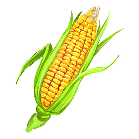 corncob: corncob vector illustration  hand drawn  painted watercolor Illustration