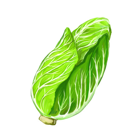 brassica: pe-tsai vector illustration  hand drawn  painted watercolor Illustration