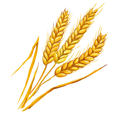cebada: Espigas de trigo ilustraci�n vectorial dibujado a mano acuarela pintada