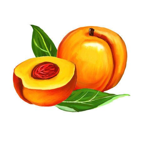 peaches set  vector illustration  hand drawn  painted watercolor Illustration
