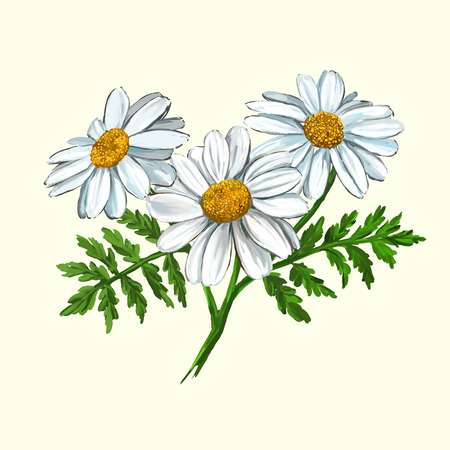 daisy vector illustration  hand drawn  painted watercolor  イラスト・ベクター素材