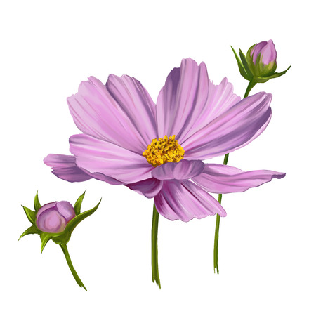 cosmos flower: Cosmos flower  vector illustration  hand drawn  painted watercolor
