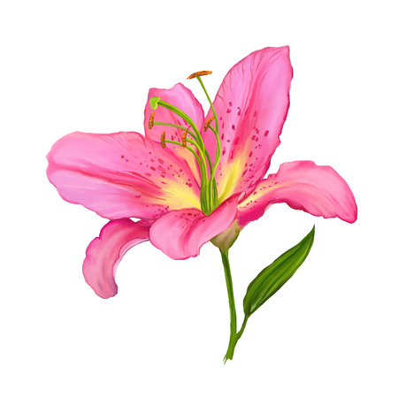 lily vector illustration  hand drawn  painted watercolor Zdjęcie Seryjne - 38778124
