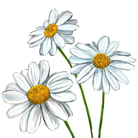 marguerite: daisy illustration tir�e par la main aquarelle peinte