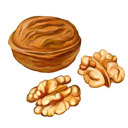 walnuts vector illustration  hand drawn  painted watercolor