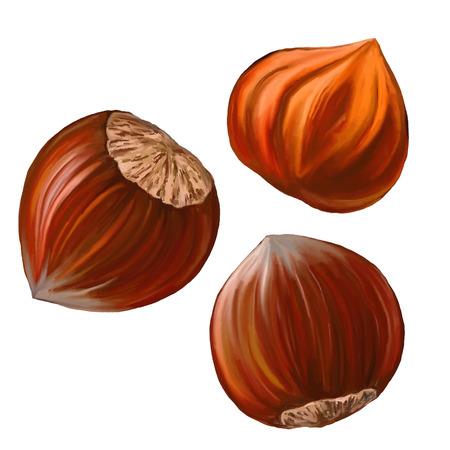 filberts: hazelnuts vector illustration  hand drawn  painted watercolor Illustration
