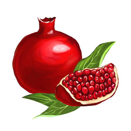 fruit pomegranate vector illustration  hand drawn  painted watercol