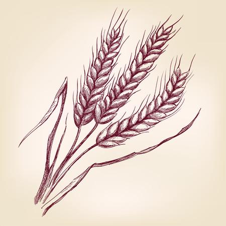 cebada: Espigas de trigo mano dibujada llustration vector esbozo realista