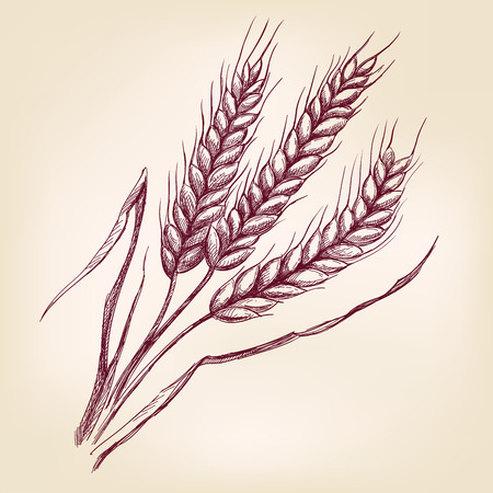 Ears of wheat hand drawn vector llustration realistic sketch Illustration
