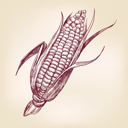 agricultural: corncob  hand drawn vector llustration realistic sketch