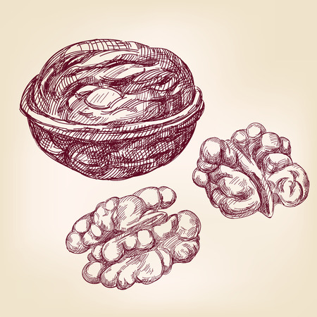 walnut: walnuts hand drawn vector llustration realistic sketch Illustration