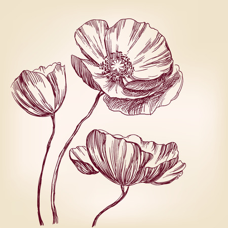 graphic background: poppies hand drawn vector llustration realistic sketch