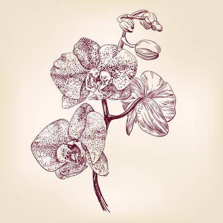 蘭花の手描き下ろしイラスト リアルなスケッチ