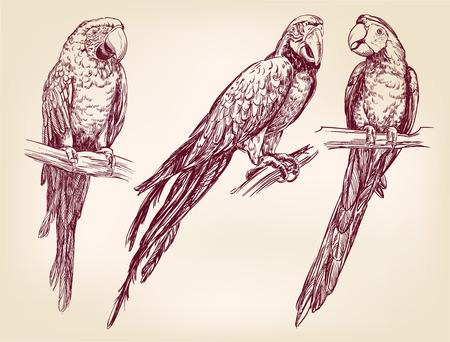 periquito: conjunto del loro aislado dibujado a mano llustration vector esbozo realista
