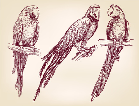 avian: Parrot set isolated hand drawn vector llustration  realistic  sketch
