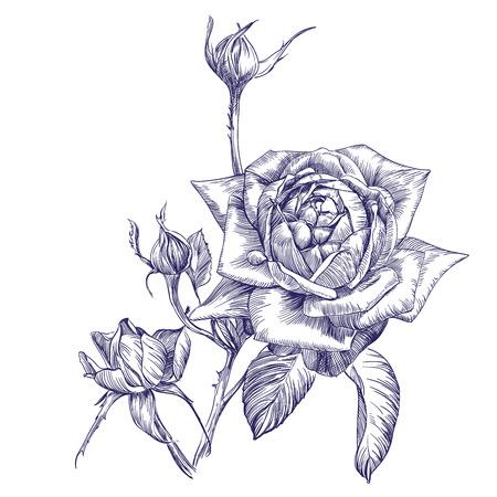 flower thorns: rose branch hand drawn vector llustration realistic sketch