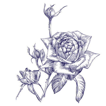 rose branch hand drawn vector llustration realistic sketch