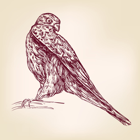 prey: hawk bird of prey - hand drawn vector llustration realistic sket Illustration