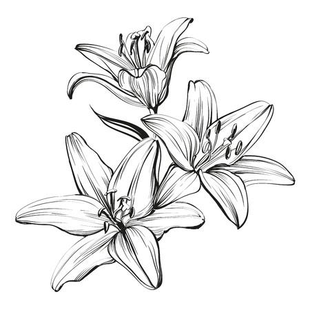 gigli in fiore floreale illustrazione disegnata a mano abbozzo Vettoriali
