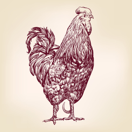 poultry: chicken hand drawn vector llustration realistic sketch